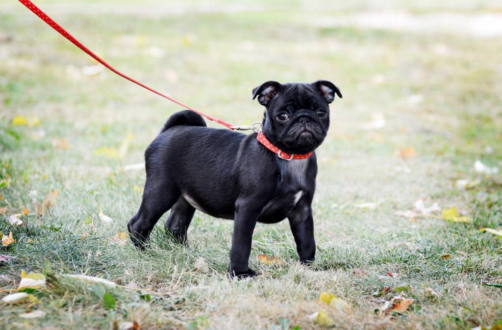 Small black puppy pug