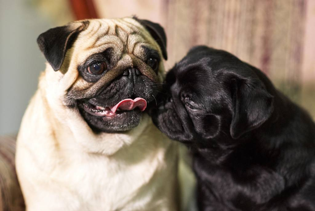 dark and light pug playing together